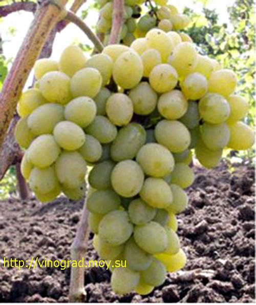 vinograd_avgustin.jpg