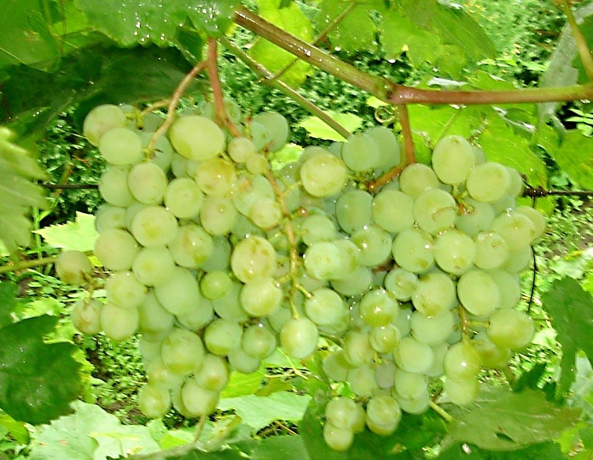 Смотреть Винограды видео