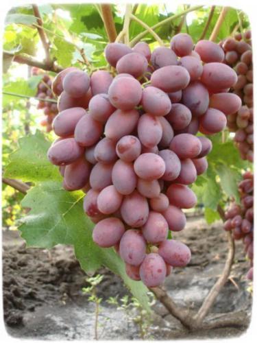 Виноград уход май июнь